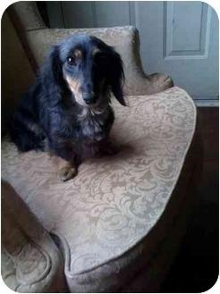 Dachshund Dog for adoption in Salem, Oregon - Ellie
