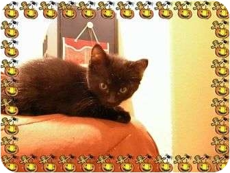 Domestic Shorthair Kitten for adoption in Pueblo West, Colorado - -Hocus