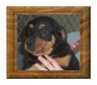 Rottweiler Mix Puppy for adoption in Belvidere, Illinois - Roxanne