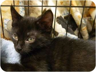 Domestic Shorthair Kitten for adoption in The Colony, Texas - Zippers