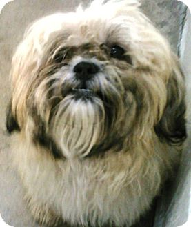 Shih Tzu Dog for adoption in Oswego, Illinois - I'M ADOPTED Darby Wiley