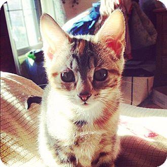 Domestic Shorthair Kitten for adoption in Long Beach, New York - Jenny