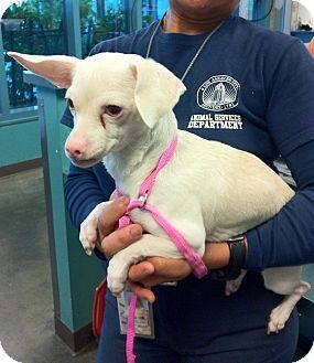 Dachshund/Chihuahua Mix Dog for adoption in Encino, California - Lamb