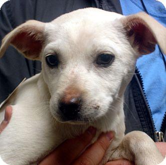 Beagle/Labrador Retriever Mix Dog for adoption in Greencastle, North Carolina - Gabby