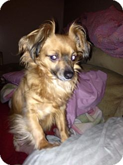 Papillon/Chihuahua Mix Dog for adoption in Homer, New York - Reuben
