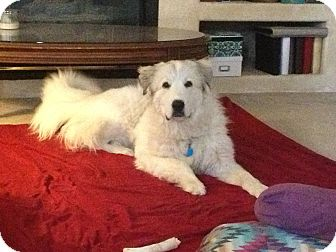 Great Pyrenees Dog for adoption in Broomfield, Colorado - Athena