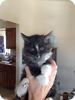 Domestic Longhair Kitten for adoption in Fountain Hills, Arizona - DORIAN