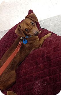 Dachshund Mix Dog for adoption in Breinigsville, Pennsylvania - Dash
