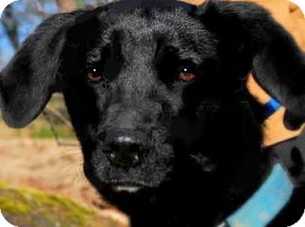 "Labrador Retriever Mix Dog for adoption in Wakefield, Rhode Island - LACEY(OUR ""LAB PETITE""!!"