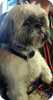 Shih Tzu Mix Dog for adoption in Thousand Oaks, California - Miles