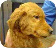 Golden Retriever Puppy for adoption in Cleveland, Ohio - Tad
