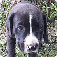 Adopt A Pet :: Virgil - Marshfield, MA