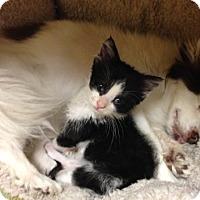 Adopt A Pet :: Turbo - Tempe, AZ