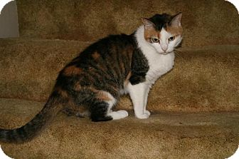 Domestic Shorthair Cat for adoption in East Smithfield, Pennsylvania - Tigar