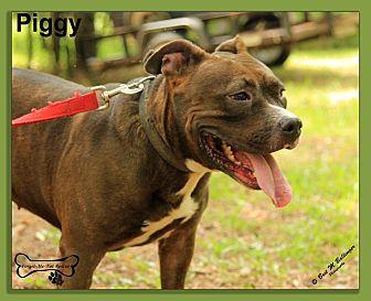 Pit Bull Terrier/Labrador Retriever Mix Dog for adoption in Sarasota, Florida - Piggy