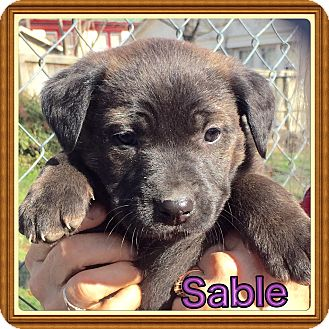 Labrador Retriever/Mountain Cur Mix Puppy for adoption in Cranford, New Jersey - Sable