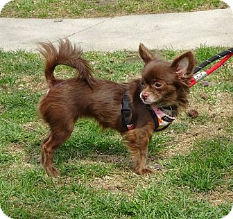 Chihuahua Mix Dog for adoption in Freeport, New York - Mocha