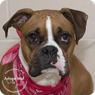 Boxer Dog for adoption in Troy, Ohio - Bruiser