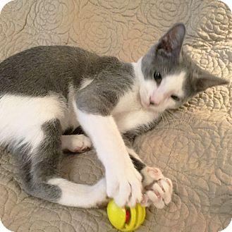 Domestic Shorthair Kitten for adoption in Arlington/Ft Worth, Texas - Milo