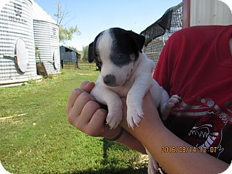 Jack Russell Terrier/Rat Terrier Mix Puppy for adoption in Walthill, Nebraska - Lilly