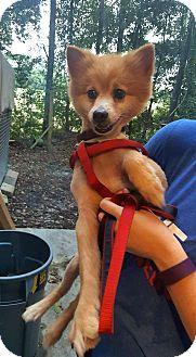 Pomeranian Mix Dog for adoption in Savannah, Georgia - Simba 2