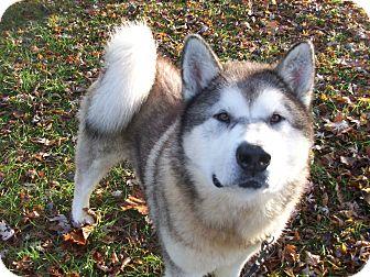 Alaskan Malamute Mix Dog for adoption in Augusta County, Virginia - Axel