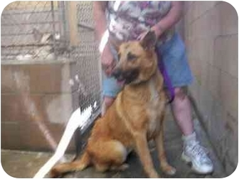 German Shepherd Dog/Retriever (Unknown Type) Mix Dog for adoption in LosAngeles, California - Princess