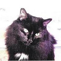 Domestic Longhair Cat for adoption in Asheville, North Carolina - Kip (Courtesy)