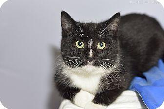 Domestic Shorthair Kitten for adoption in Medina, Ohio - Blink