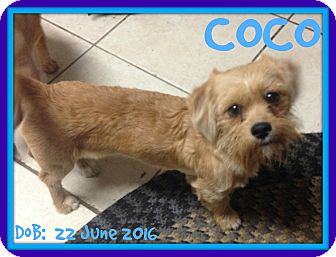 Shih Tzu Mix Puppy for adoption in Middletown, Connecticut - COCO