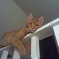 Domestic Shorthair Cat for adoption in Clarkson, Kentucky - Top Dollar