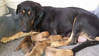 Labrador Retriever/Doberman Pinscher Mix Dog for adoption in Miami, Florida - Masie