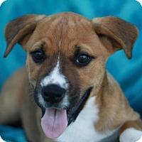 Adopt A Pet :: Poppy - Brattleboro, VT