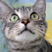 Adopt A Pet :: Little man - Englewood, FL