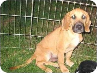 Shepherd (Unknown Type)/Hound (Unknown Type) Mix Puppy for adoption in Hammonton, New Jersey - George