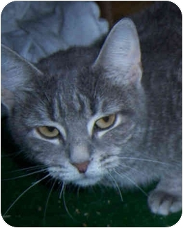Domestic Shorthair Cat for adoption in Youngwood, Pennsylvania - Fiasco