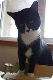 Domestic Shorthair Cat for adoption in Okotoks, Alberta - Dexter