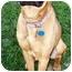 Photo 2 - Boxer/Shepherd (Unknown Type) Mix Dog for adoption in Latrobe, Pennsylvania - Norman