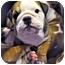 Photo 1 - English Bulldog Puppy for adoption in Park Ridge, Illinois - Bingo