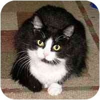 Domestic Longhair Cat for adoption in Hamburg, New York - Kisses