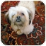 Photo 2 - Shih Tzu/Poodle (Toy or Tea Cup) Mix Dog for adoption in Los Angeles, California - GRETA