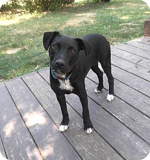 Terrier (Unknown Type, Small)/Labrador Retriever Mix Puppy for adoption in Cincinnati, Ohio - Betty