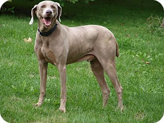 Weimaraner Dog for adoption in Toronto/Etobicoke/GTA, Ontario - Shack