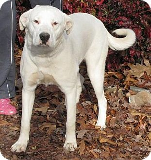 Dogo Argentino/Labrador Retriever Mix Dog for adoption in Oakland, Arkansas - Frosty