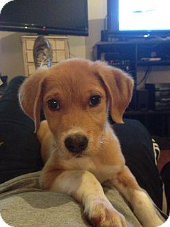 Labrador Retriever Mix Puppy for adoption in Danbury, Connecticut - Cato