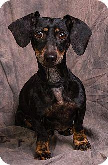 Dachshund Dog for adoption in Anna, Illinois - DAISY MAE