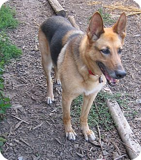 German Shepherd Dog Dog for adoption in Evergreen Park, Illinois - Keetah