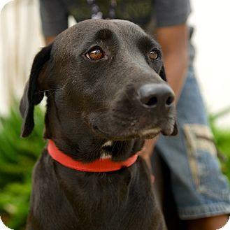 Labrador Retriever Mix Dog for adoption in Houston, Texas - Mildred