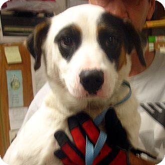 Border Collie Mix Dog for adoption in Manassas, Virginia - Dalton