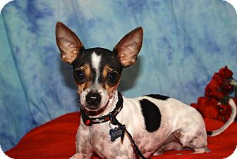 Toy Fox Terrier Mix Dog for adoption in Vacaville, California - Jack